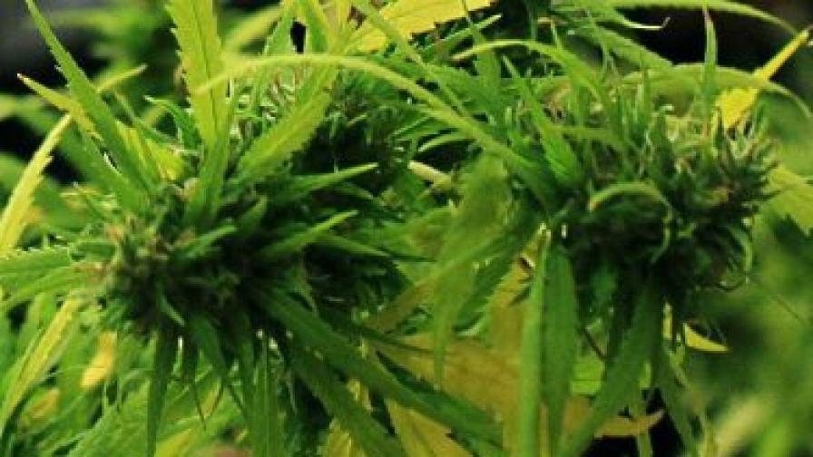 При обиските на задържаните и домовете им е намерена марихуана и хапчета