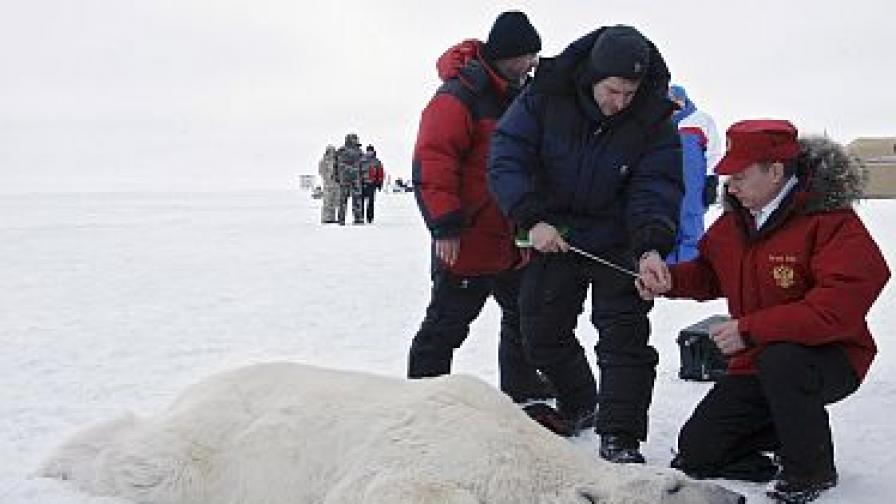 Путин асистира при прегледа на 231-килограмов бял мечок