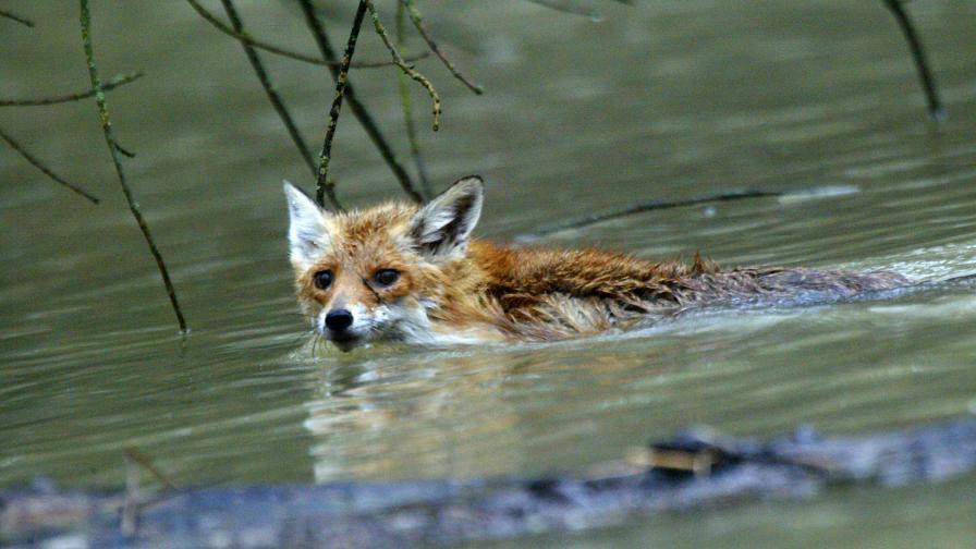 Лисиче плува във водите на Дунав след наводнение