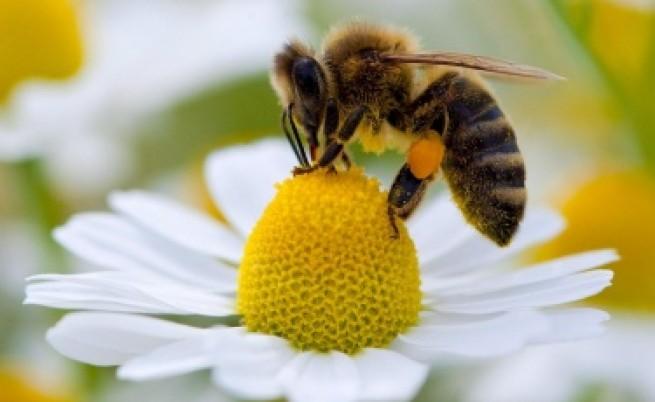 Пчелите били по-умни сутрин