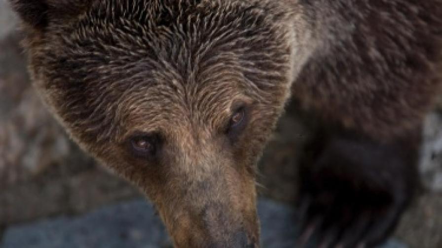 10 мечки пазят ниви с канабис