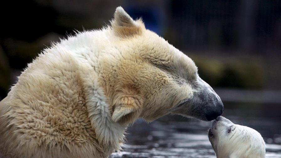 Бяла мечка плувала нонстоп 9 дни