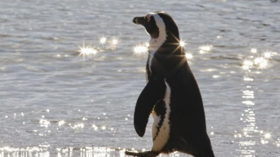 Пингвинът Пит полетя