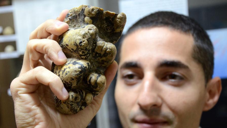 Показват зъби на праисторически слон във Варна
