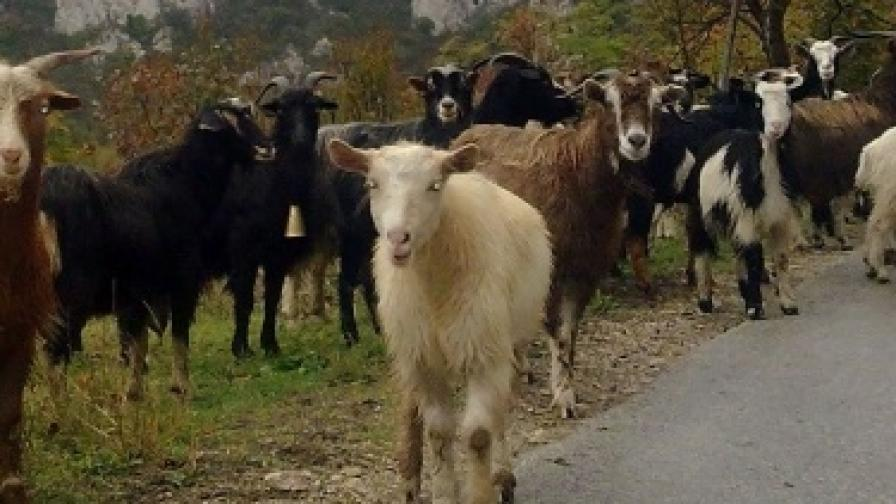 И коза извърши нарушение в изборния ден