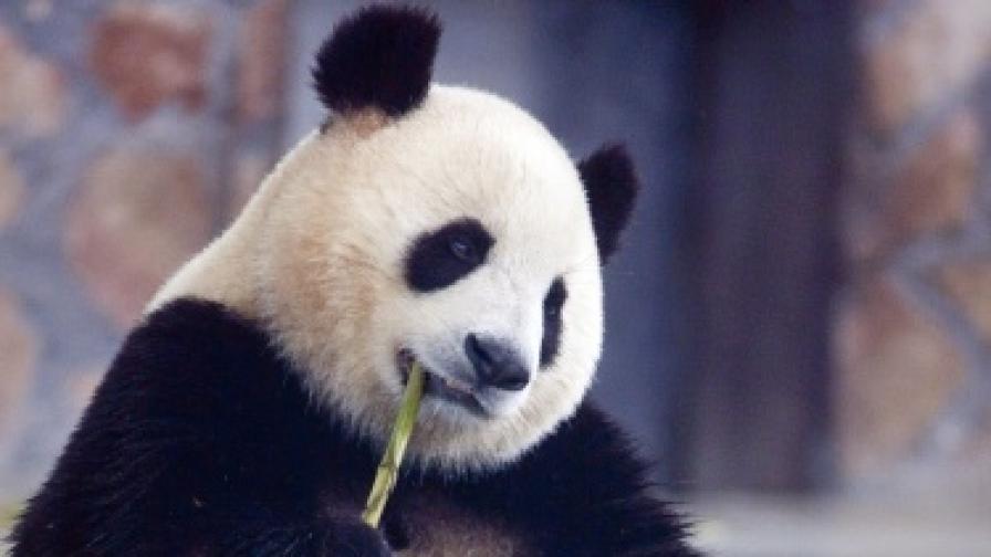 Скандал в Би Би Си заради панда