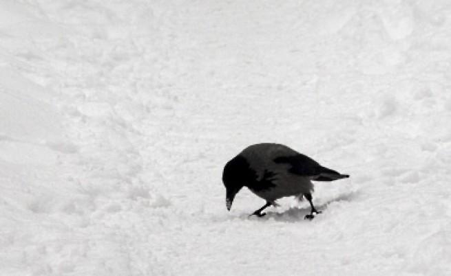 Редки пойни птици до казана за боклук и еднокраки гълъби в града - заради студа