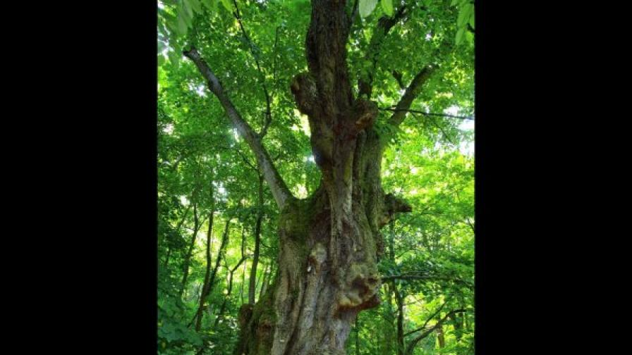 Българското дърво е трето в Европа
