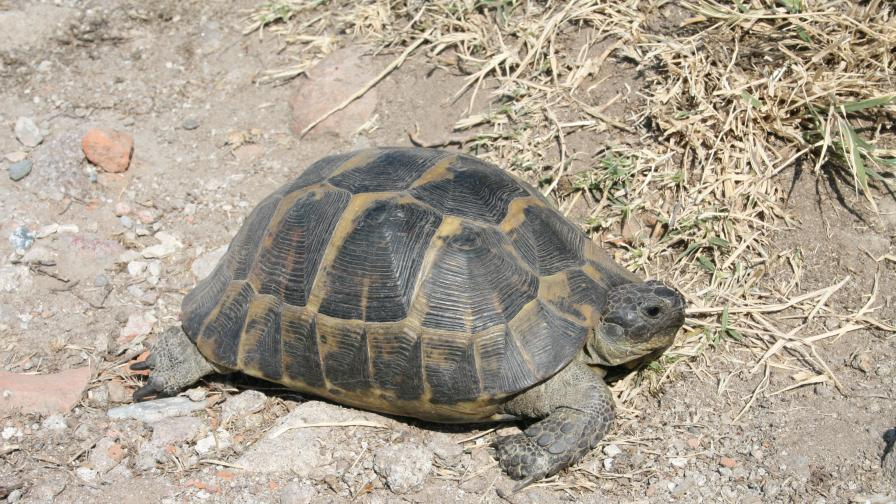 Не вземайте костенурки от природата, призовават специалисти