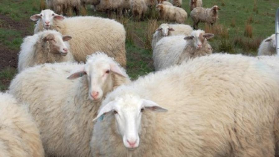 Австралия: Дъжд... от овце