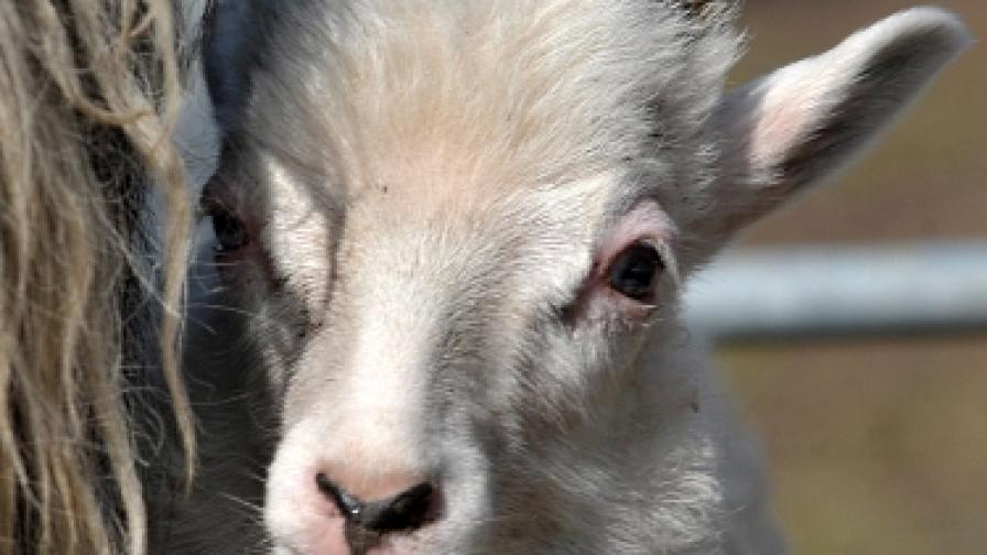 Овцете не се държали като овце