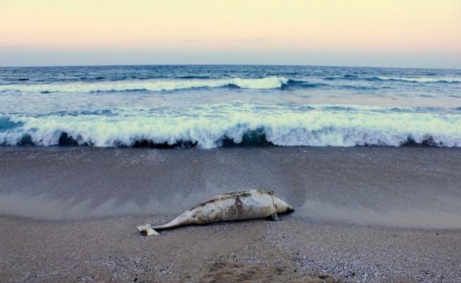Пак жестоко убит делфин на плажа