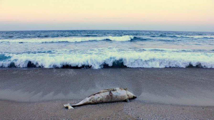 "Пак жестоко убит делфин на плажа ""Корал"""