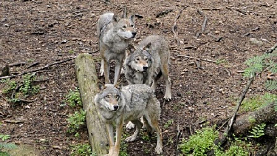 Вълци убиха десетки овце в родопско село