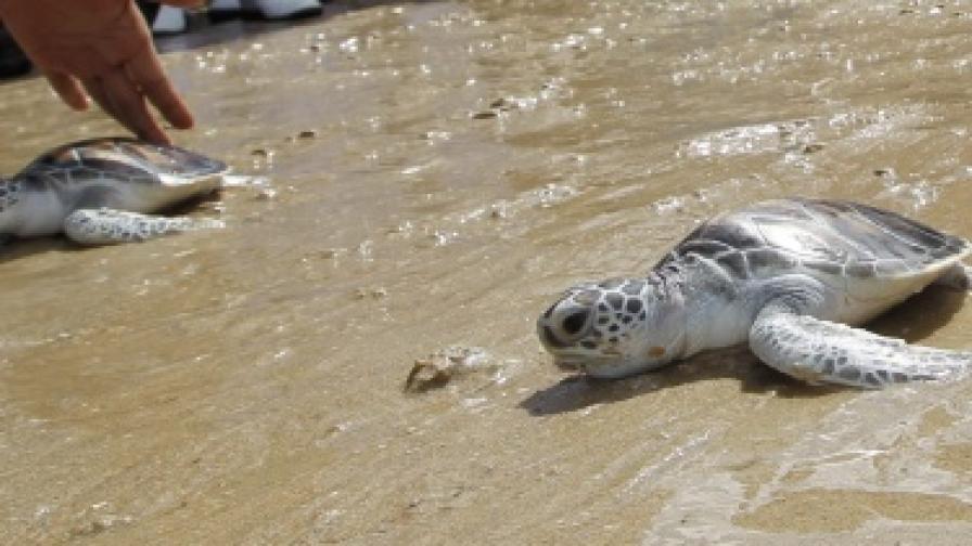 Трусът в Тихия океан унищожил 45 хил. яйца на застрашени морски костенурки