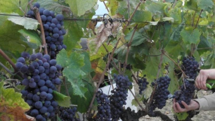 Експерт: Невероятен вкус на виното тази година