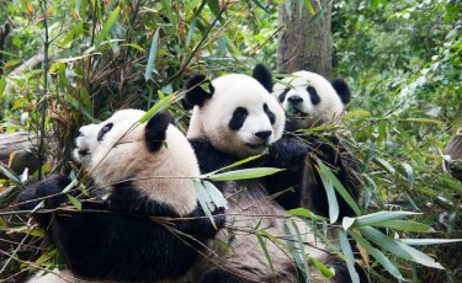 Праисторическите хора са яли панди