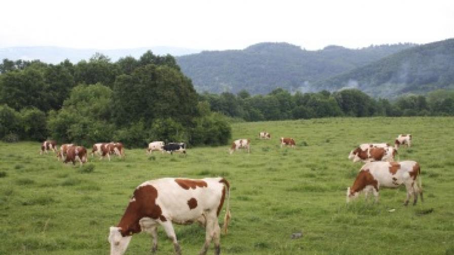 Царевица е причина за опасния токсин в млякото в с. Горан
