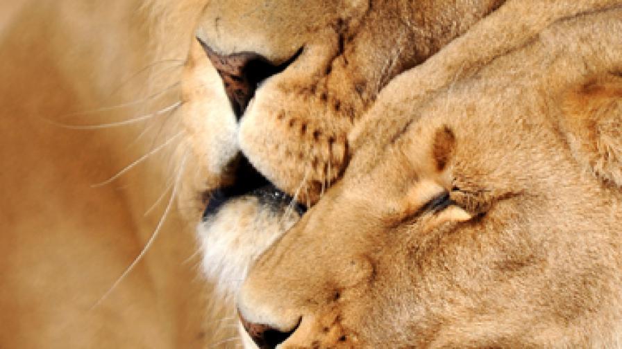 """""""Транссексуална"""" лъвица най-накрая приета от свои"""