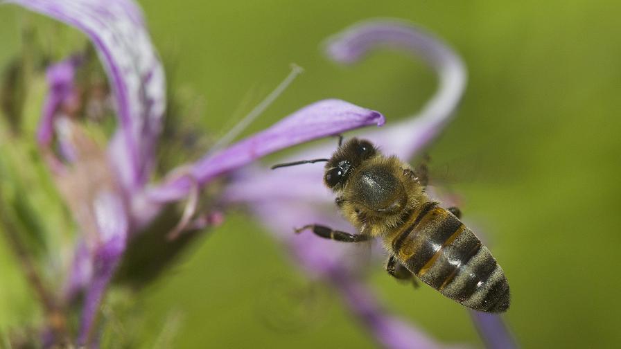 ЕС забранява три пестицида, вредни за пчелите