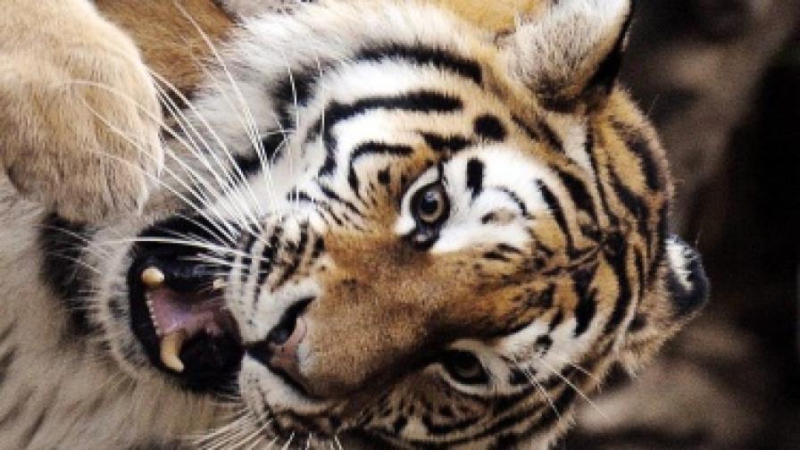 Тигри чакат петима под дърво вече трети ден