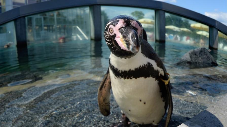 Миси - Най-старият пингвин в света