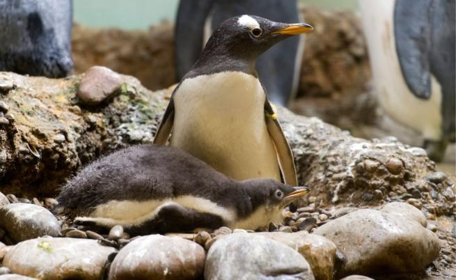 семейство пингвини