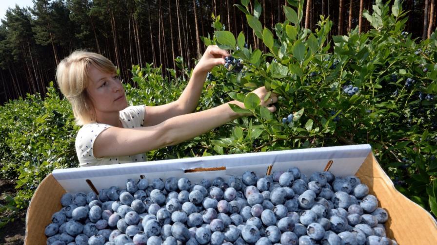 Укрепваме имунната система с грозде и боровинки