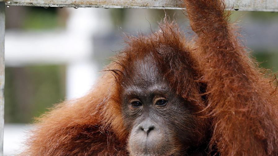"""Освободиха от веригите """"най-тъжния орангутан в света"""""""