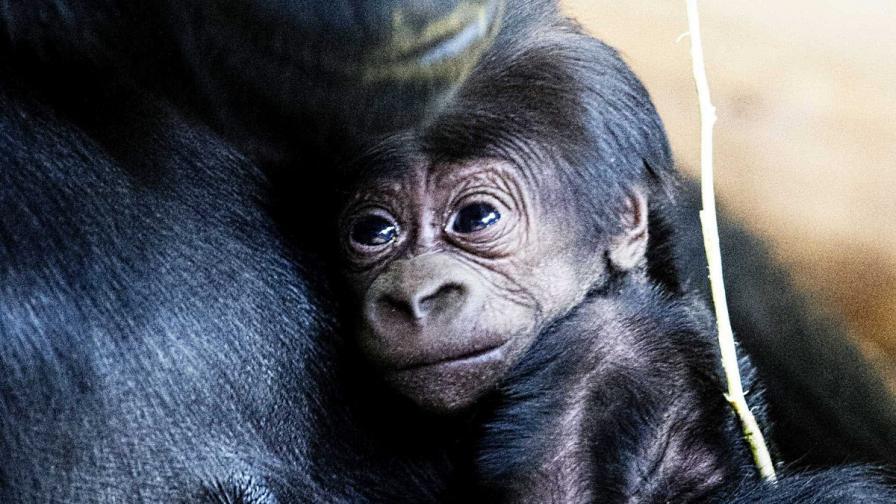 Бебе горила се роди с цезарово сечение (снимки)