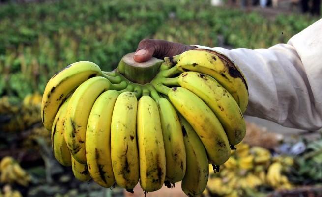 Бананите са на път да изчезнат