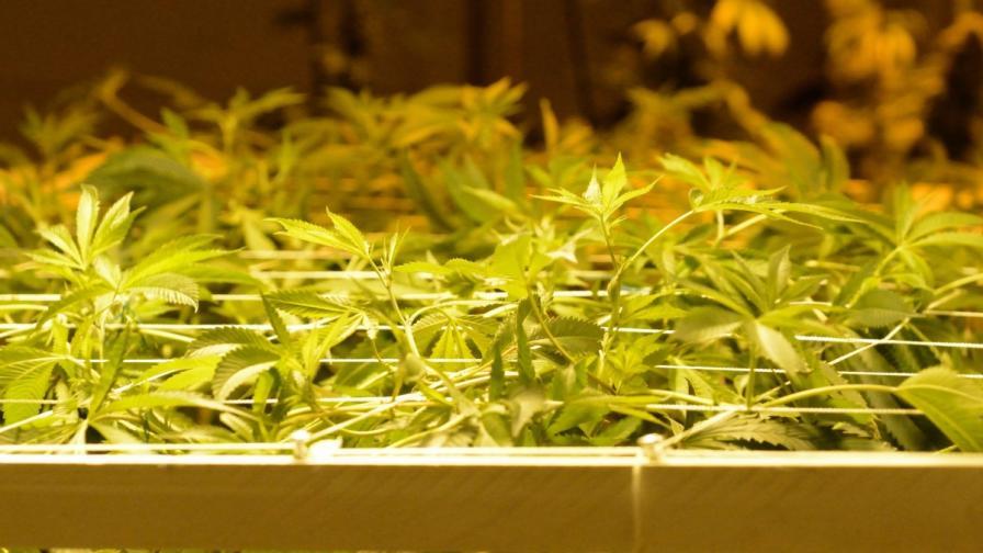 И Ню Йорк разрешава марихуаната за медицински цели